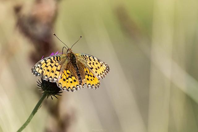 Papillon le nacré de la ronce 10