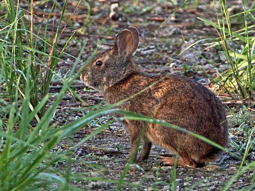 Marsh Rabbit 02-20190620
