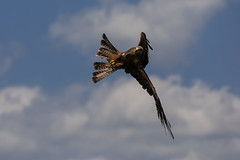 Kite hunting
