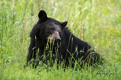 """""""Charlotte"""" a black bear sow in Cades Cove, Tennessee. 