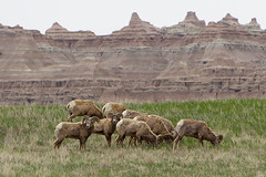 Dickhornschafe im Badlands Nationalpark
