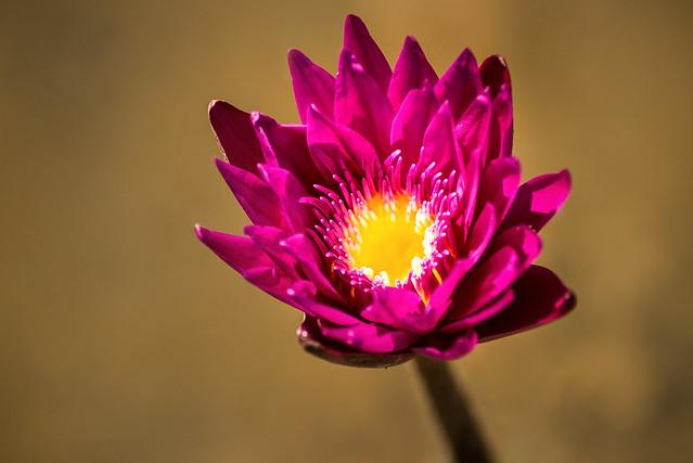 Water Lily Purple 3-0 F LR 6-12-19 J229