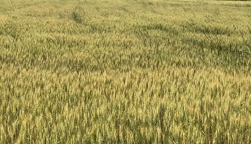 5-20-2019-Wheat-Morrilton