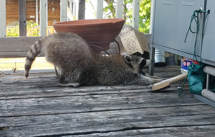 Raccoon Yoga