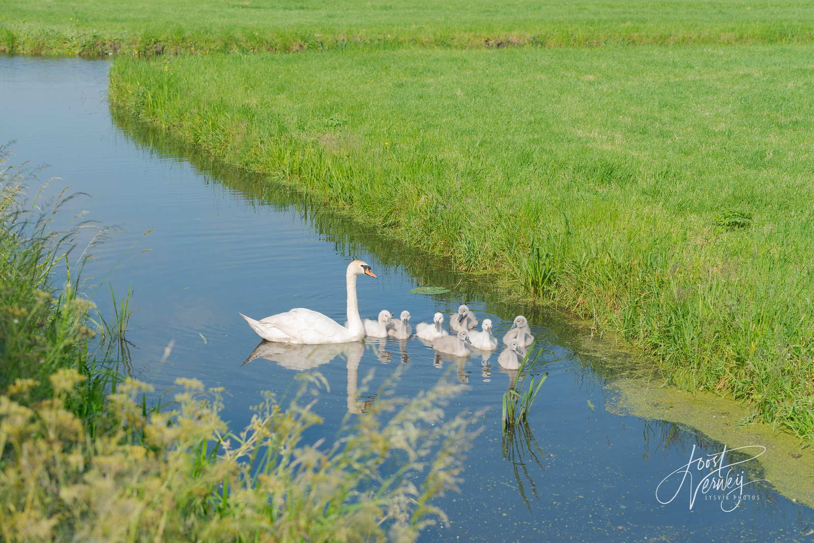 Jonge zwanen in poldersloot