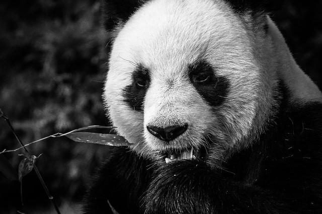 Panda, B&W, 6