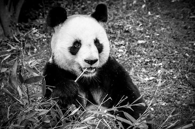 Panda, B&W, 3