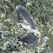 Nitticora in atterraggio sul ramo