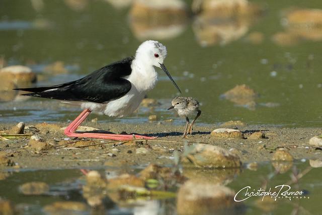 Echasse blanche - Himantopus himantopus (Domaine Des Oiseaux, Ariège) 08 juin 2019