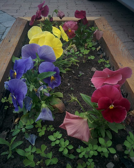 Boxed pansies #toronto #dovercourtvillage #bartlettavenue #flowers #pansies #pansy #red #yellow #blue