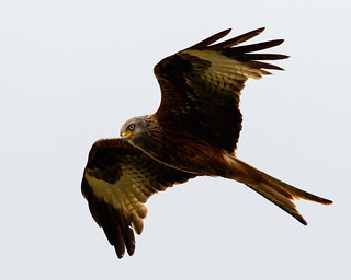 Red Kite on Pen-Y-Fan