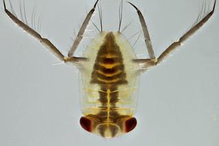 Corixidae nymph