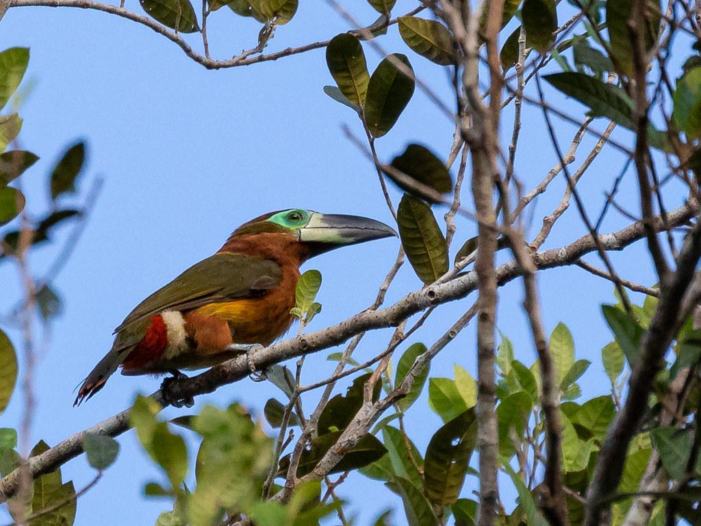 Golden-collared toucanet (green-billed)/Saripoca-de-coleira/Tucancillo de collar dorado (Selenidera reinwardtii langsdorffii) female