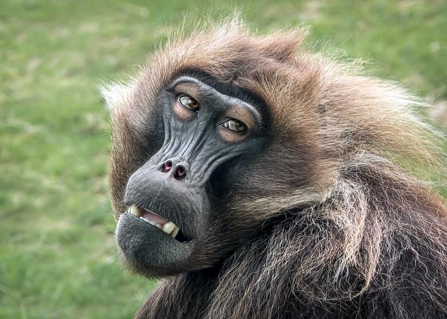 Ethiopia's Gelada Monkey