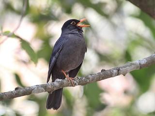 Black-capped Blackbird