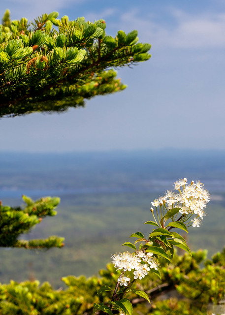 Flowers on Cadillac Mountain
