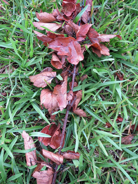 Fallen Leaves On The Lawn.