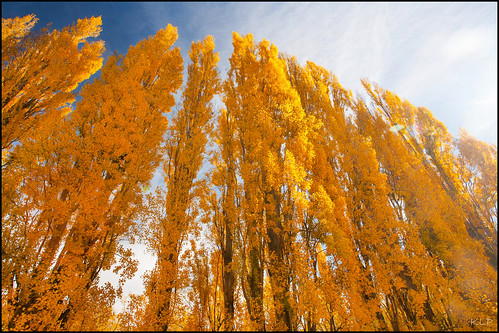 diamondclassphotographer flickrdiamond autumn poplar southisland newzealand new zealand south island trees fall gold golden yellow polariser canon 5d 1740mm roxburgh otago otagonz nz