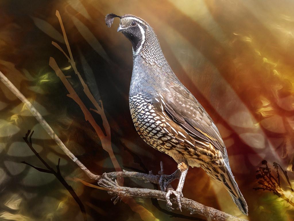 quail alert