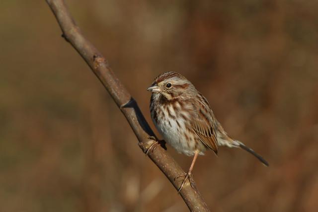 Song Sparrow. (explored 06-22-19)