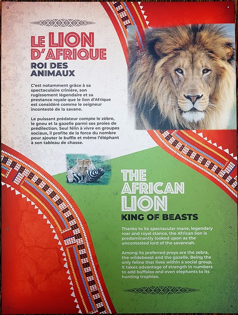 Le Lion D'Afrique, Roi Des Animaux.2019 06 18 13:38.34
