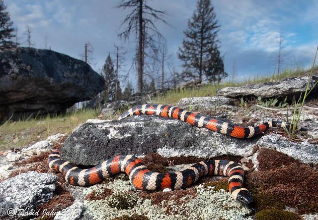 California Mountain Kingsnake (Lampropeltis zonata)