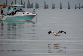 White Pelican in Flight -  St. Petersburg, Florida