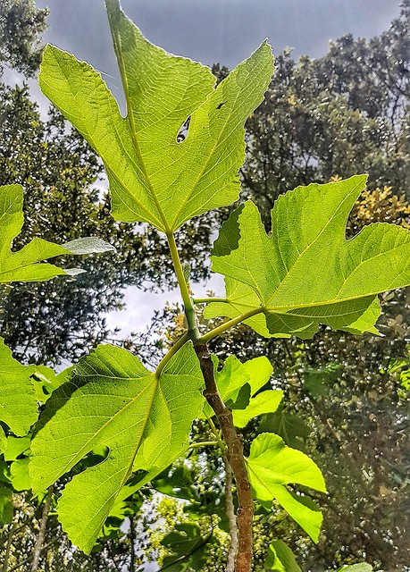 Figuera. -  Fig tree