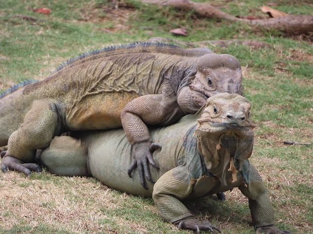 Pair of iguanas