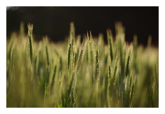 Frühsommer-Getreide