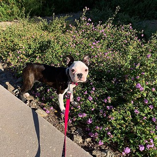 by bartlewife - Princess Peach explores the small outdoors - great outdoors exploration will commence soon! #bostonterrier #bostonsofinstagram | by TheBartlemans