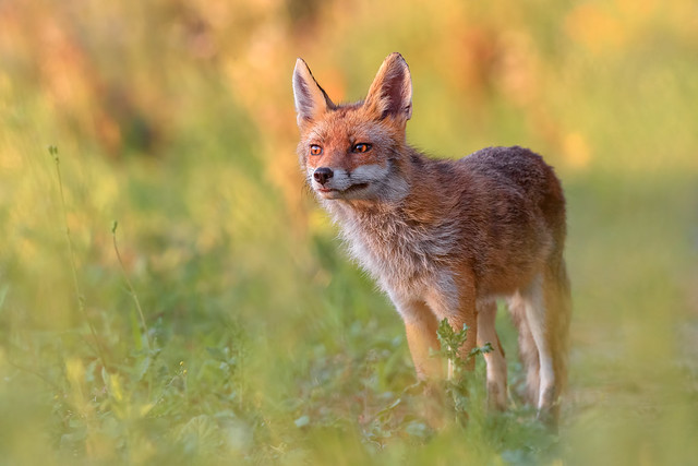 Red Fox / Volpe