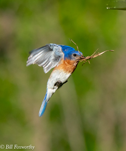SONY-ILCE-A9, Bluebird, 09473, 1-2000, ff-11, ISO 1600, 100-400@560mm