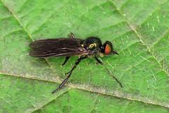 Long-horned Black Legionnaire - Beris geniculata