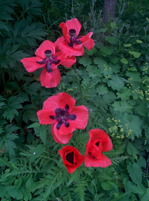 Red poppies #toronto #dovercourtvillage #bartlettavenue #flowers #poppies #poppy #red