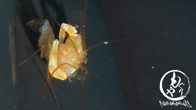昨日は3匹見かけました(^^)スベスベオトヒメエビ属1種2