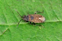Peritrechus nubilus