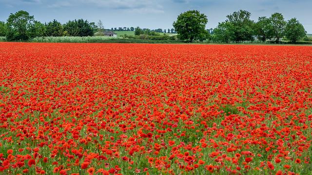 Poppy Field (Explored)