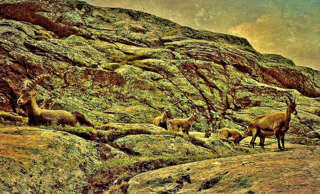 Schweiz, Rund um Zermatt, Matterhorn, 1983 ,Steinböcke,   76748/11629