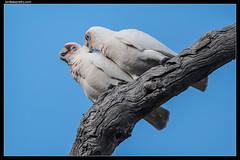 Long-billed Corellas: Pair bonding