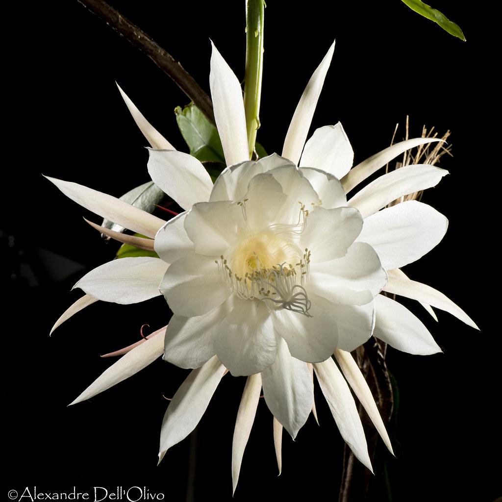Epiphyllum oxypetalum_DSC1875