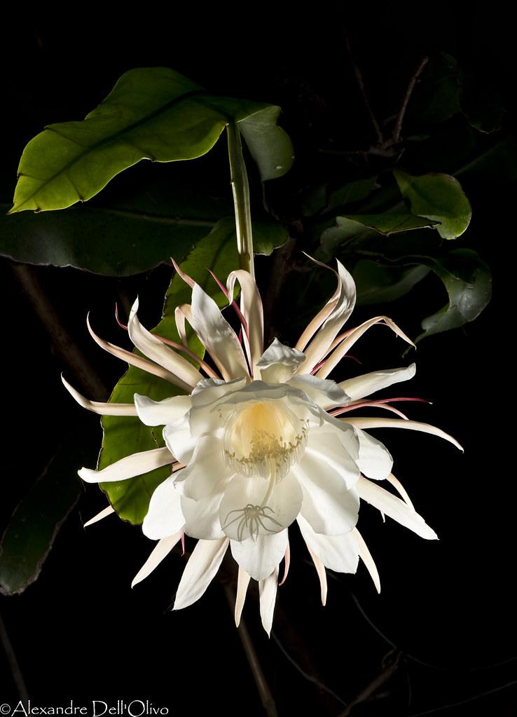 Epiphyllum oxypetalum_DSC1871