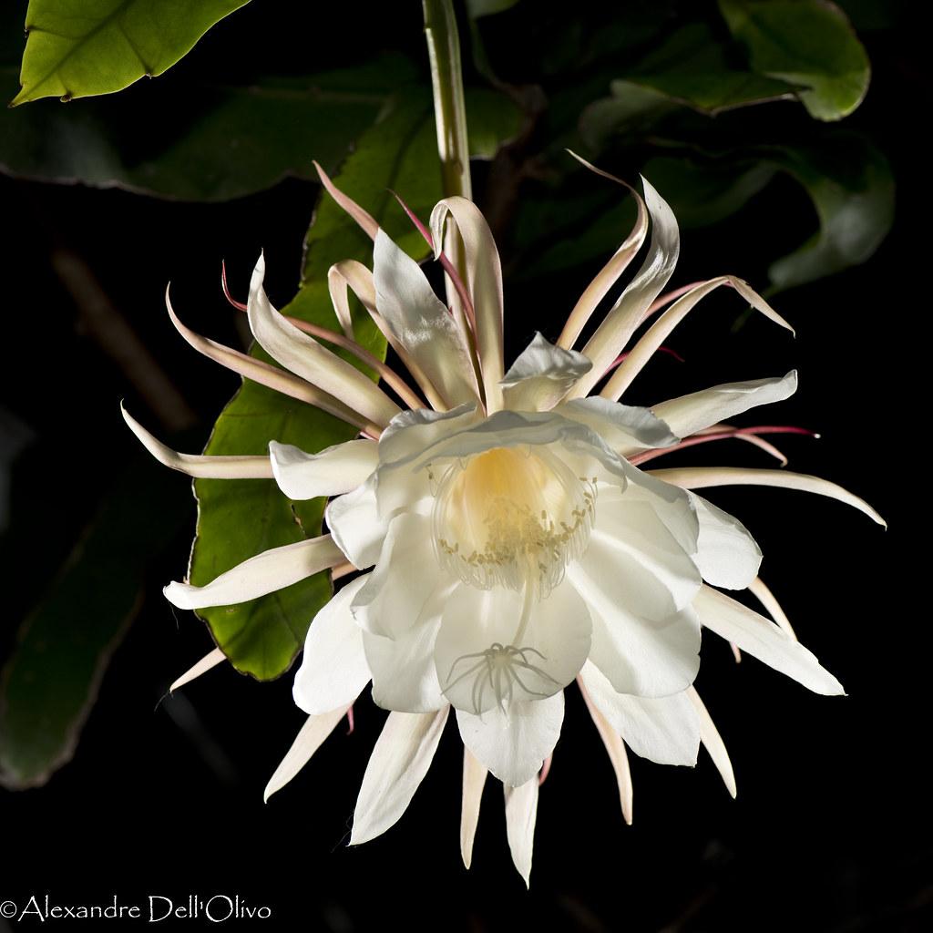 epiphyllum oxypetalum dsc1865