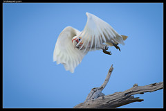 Long-billed Corella: Lift Off