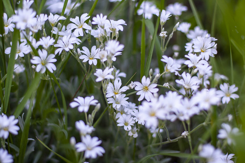 Stellaria holostea in the meadow in May.