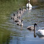 Swan convoy