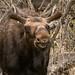 IMG_5185 young bull moose