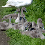 Young swan family taking a rest on the footpath