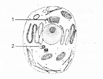 KSEEB Solutions for Class 8 Science Chapter 5 Study of Cells 12
