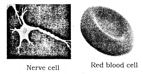 KSEEB Solutions for Class 8 Science Chapter 5 Study of Cells 4